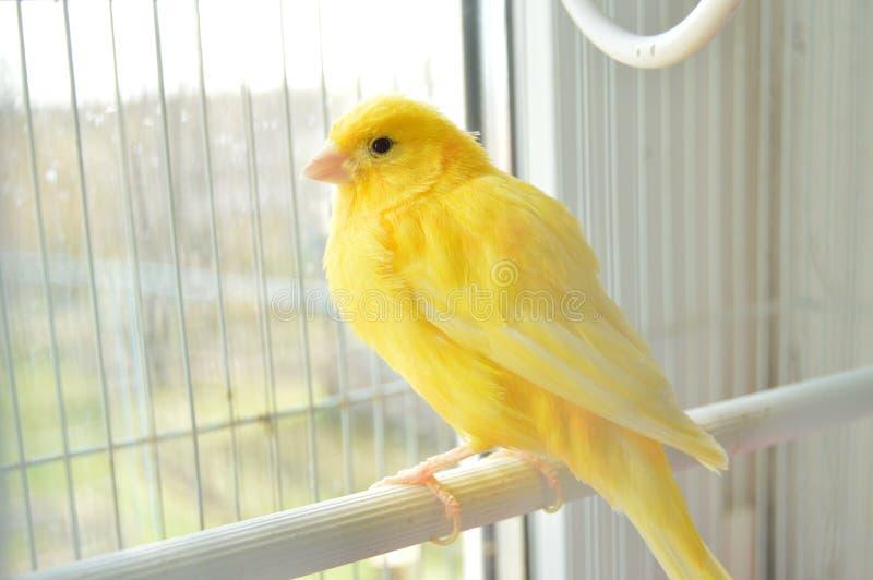 kanariefågel royaltyfri fotografi