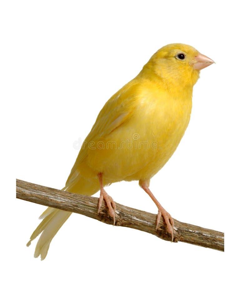 kanariefågel arkivfoto