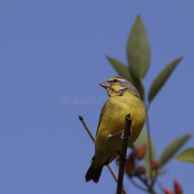 kanariefågel royaltyfri foto