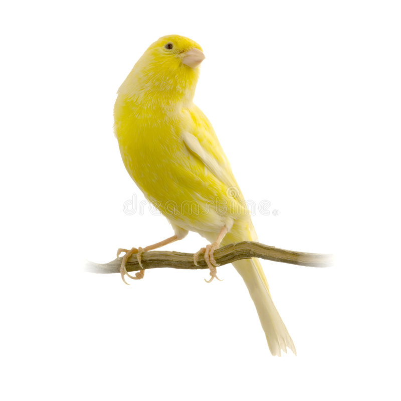 kanariefågel dess perchyellow royaltyfria bilder