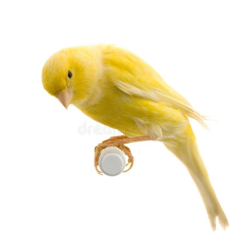 kanariefågel dess perchyellow arkivbilder