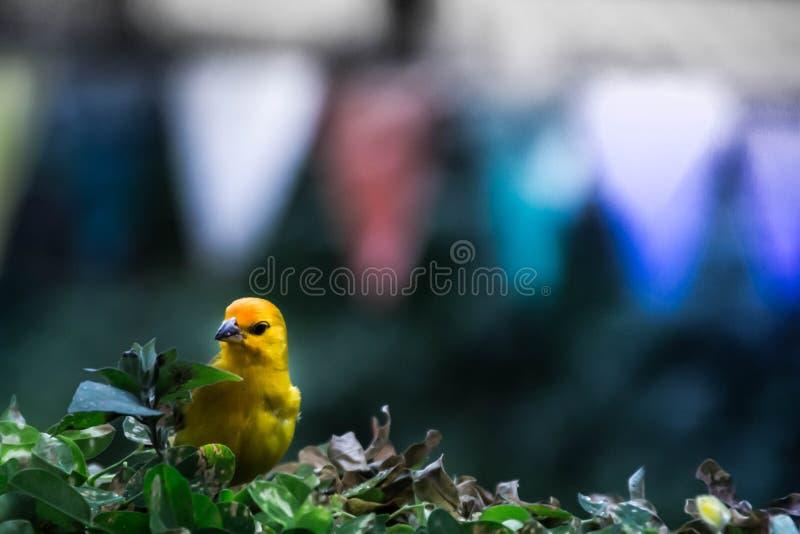 Kanariefågel som poserar till kameran fotografering för bildbyråer