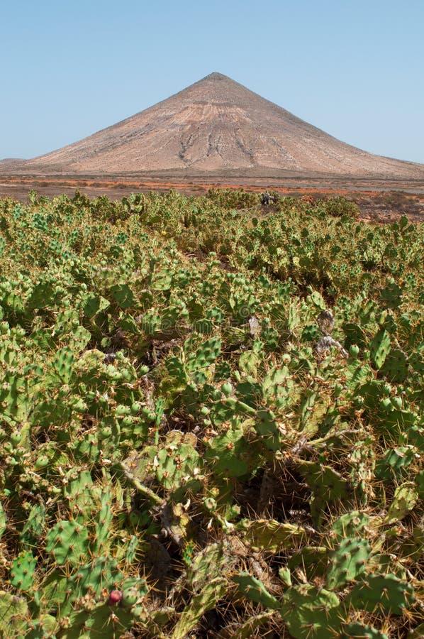 kanariefågelfuerteventura öar spain arkivfoton