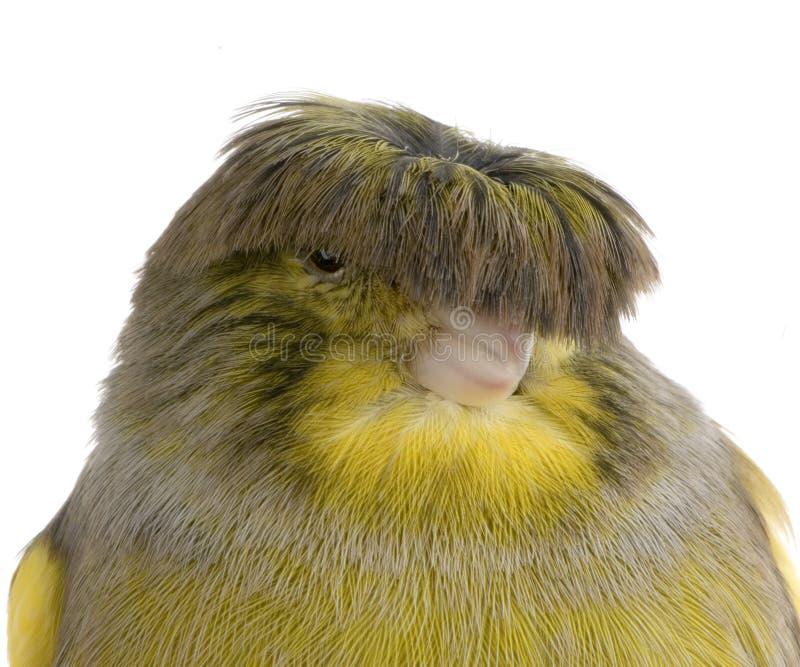 kanariefågelkrangloster arkivfoto