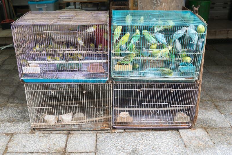 Kanariefåglar i fågelburar fotografering för bildbyråer