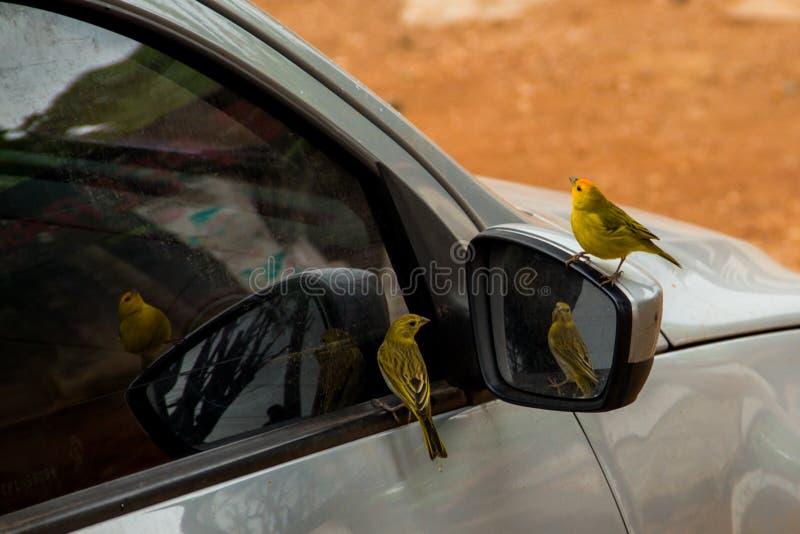 Kanariefåglar landar i en bilspegel som beundrar som synes deras egen skönhet i reflexionen royaltyfria bilder
