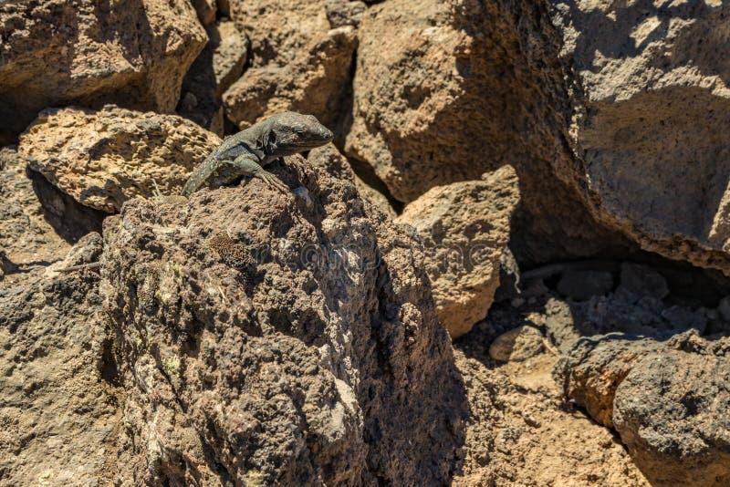 Kanariehagedis - Gallotia-galloti rust op vulkanische lavasteen De hagedis staart bij de camera, omhoog sluit, macro, natuurlijk royalty-vrije stock fotografie