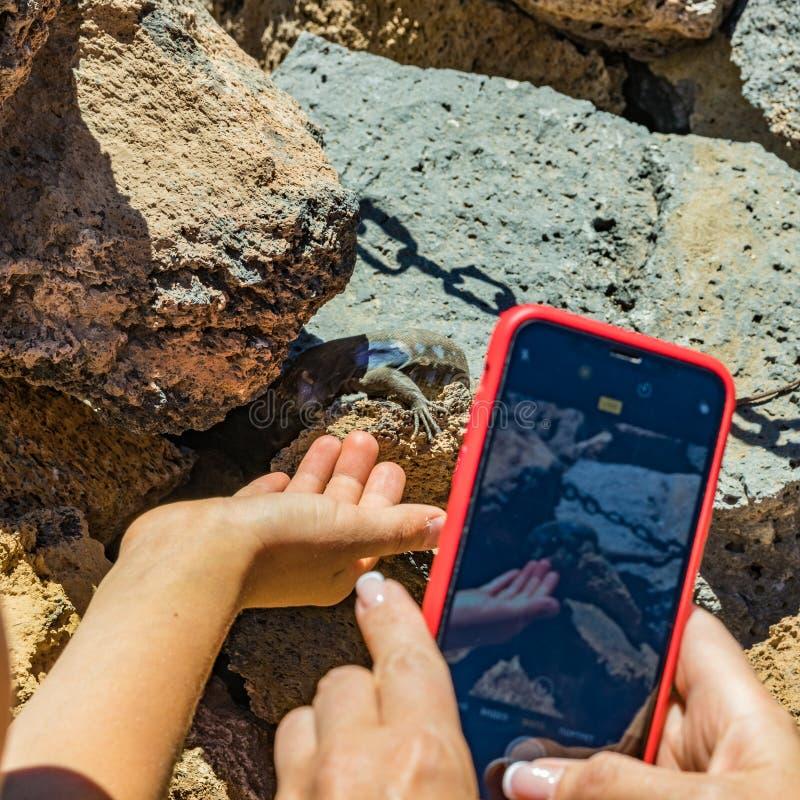 Kanariehagedis - Gallotia-galloti rust op vulkanische lavasteen Het reptiel staart bij de palm van de mens die beelden op neemt stock afbeelding