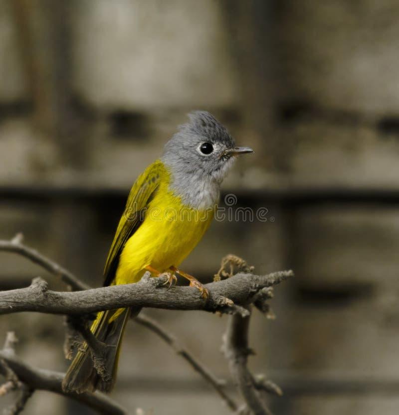 Kanarievliegenvanger stock foto