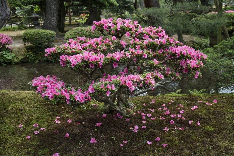 Pink flowering azalea shrub in Gyokuseninmaru Garden stock image