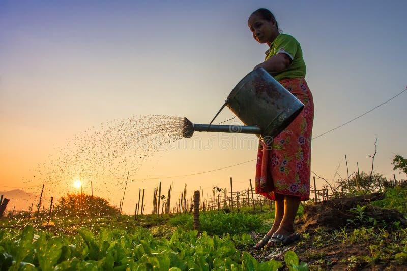 Kanchanaburi Thailand - Februari 14, 2015: gammal kvinna som bevattnar kålväxter med att bevattna i hennes trädgård på morgonen royaltyfri foto