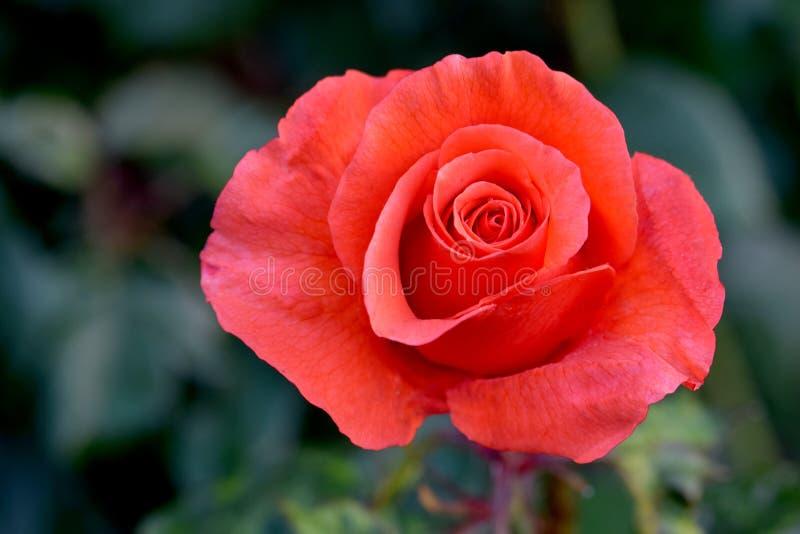 Kandelaber rosa Rose Flower Bud 03 arkivbild