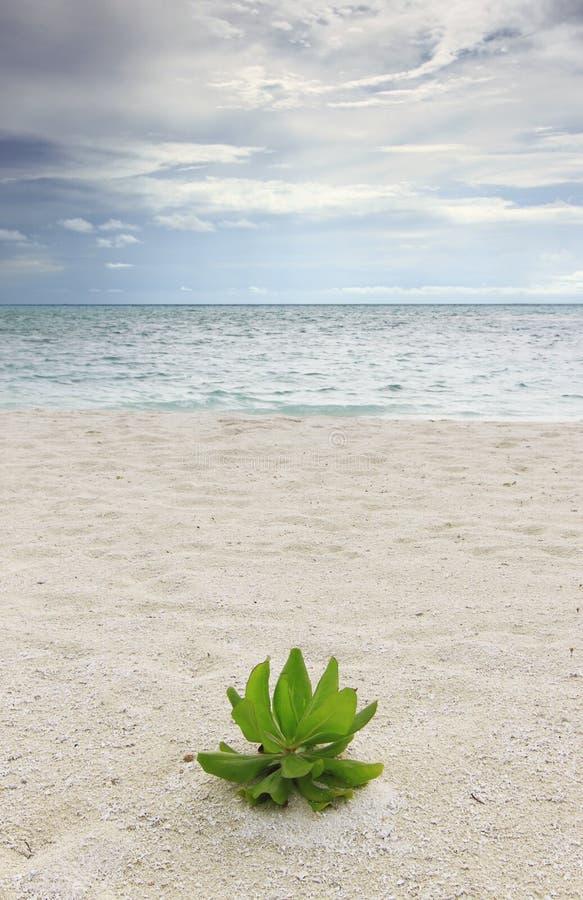 Kandoo Strauch (Hernandia nymphaeifolia) stockbild