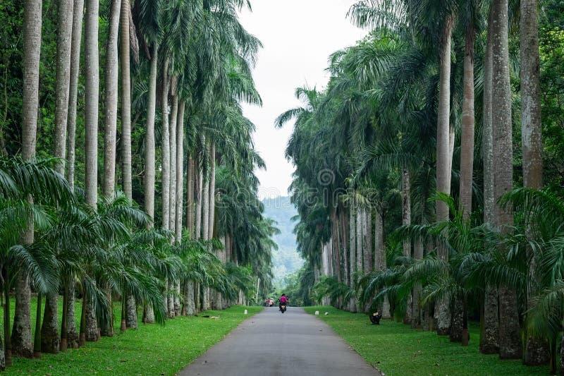 Kandy, Σρι Λάνκα - 26 Απριλίου 2018: Αλέα φοινίκων στο βασιλικό βοτανικό κήπο Peradeniya σε Kandy στοκ εικόνες