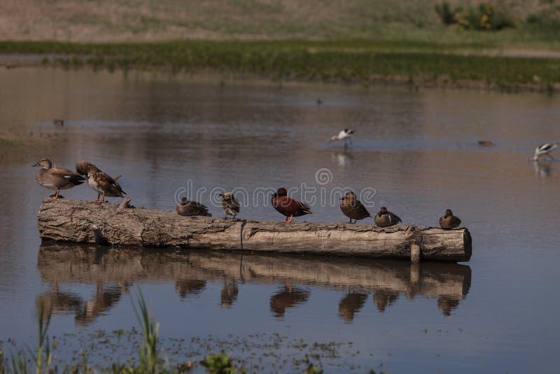 Kaneel Teal Duck royalty-vrije stock afbeelding