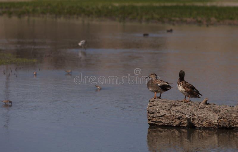 Kanelbruna Teal Duck arkivfoto