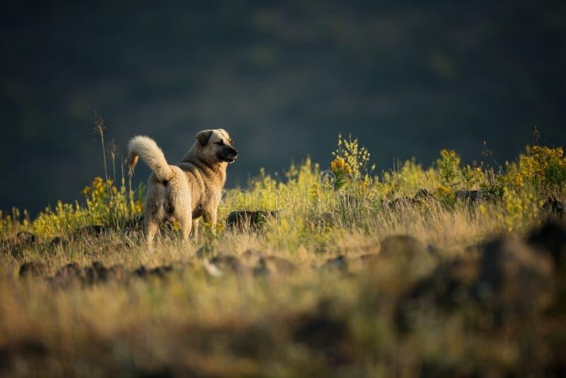 Kangal Den lösa naturen av Bulgarien fri natur r Rhodopes Berg i Bulgarien Europeisk wildlif arkivfoto