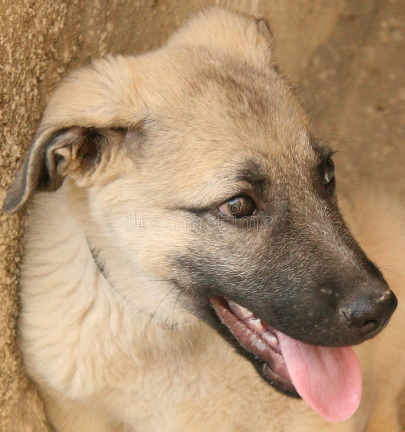 kangal herdeturk för hund royaltyfri bild