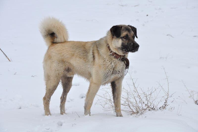 Kangal (karabash). Anatolian Shepherd Dog kangal (karabash stock photography