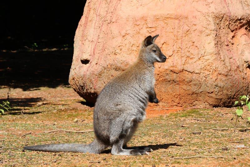 Download Kangaroo stock image. Image of wild, wallaby, park, kangaroo - 10503481