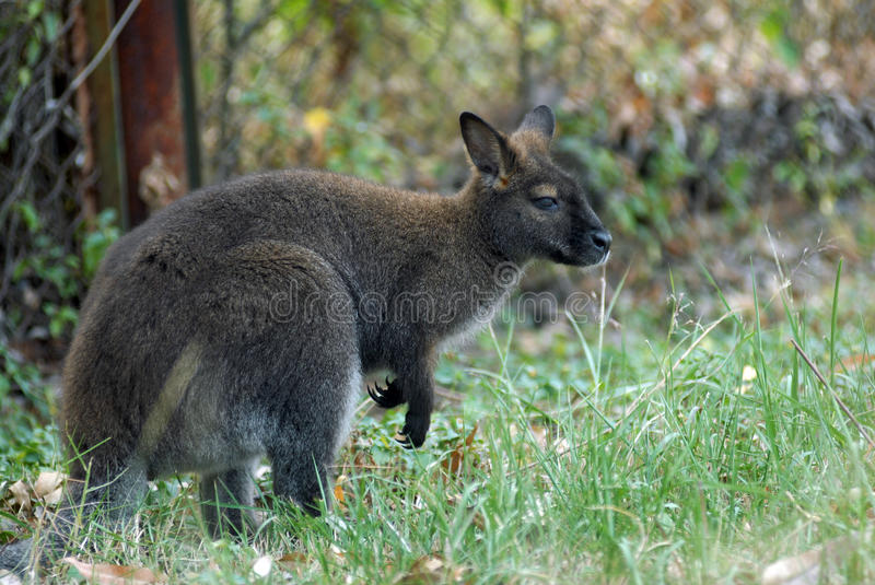 Download KANGAROO stock image. Image of cuddly, baby, claw, green - 11858635