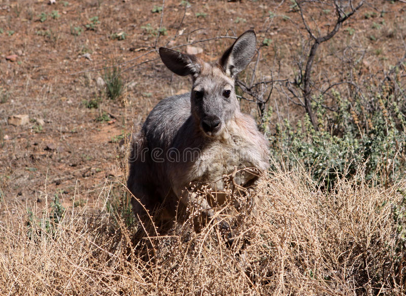Download Kangaroo stock image. Image of australian, outback, indigenous - 13203491