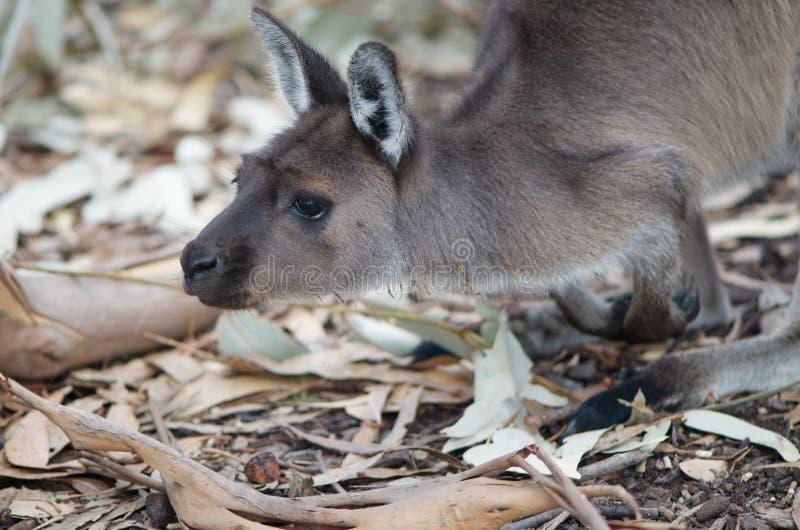 Download Kangaroo stock image. Image of looking, kangaroo, attentive - 19127631