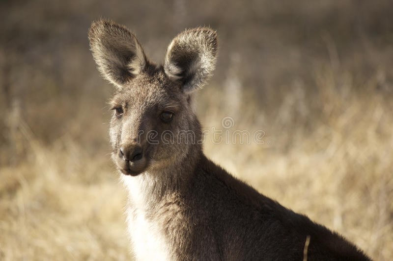 Download Kangaroo stock image. Image of national, australia, close - 19868215