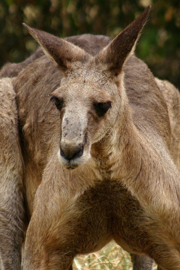 Download Kangaroo #2 stock image. Image of native, nature, landscapes - 95241