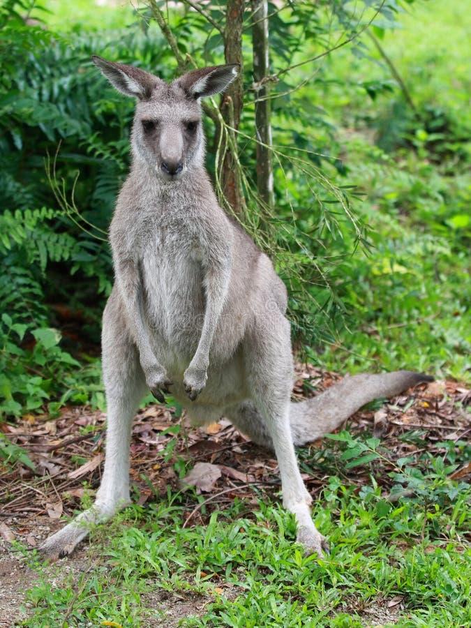 Download Kangaroo stock image. Image of animal, alert, nature - 24000197