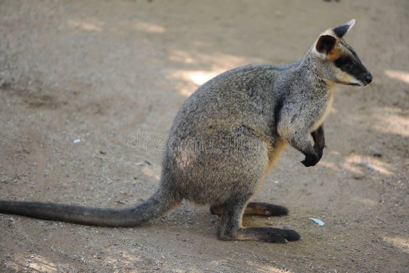 Download Kangaroo stock image. Image of tail, light, nail, kangaroo - 24790451
