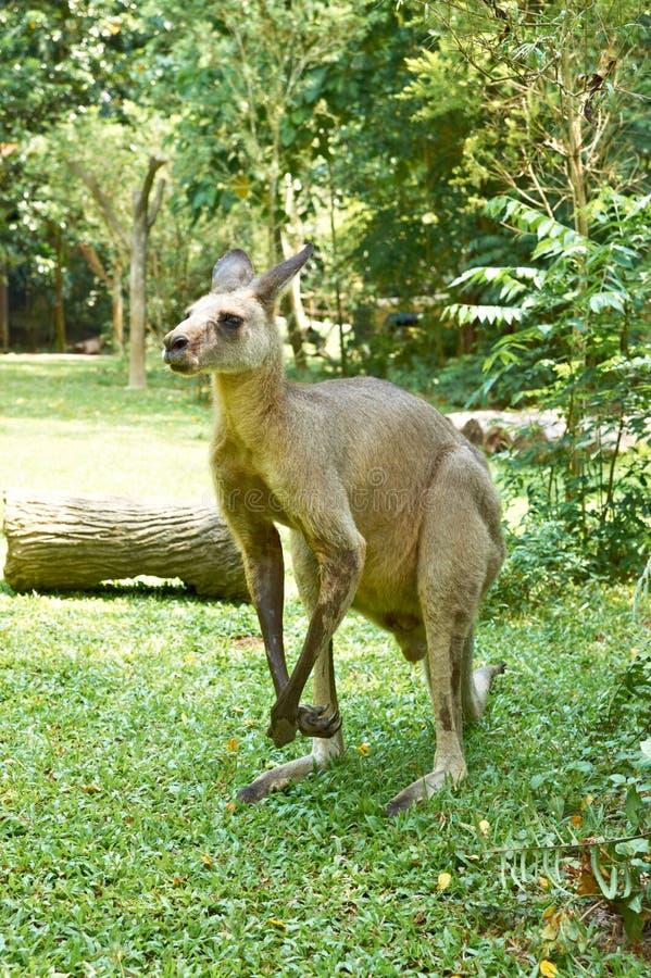 Download Kangaroo Royalty Free Stock Photos - Image: 28475138