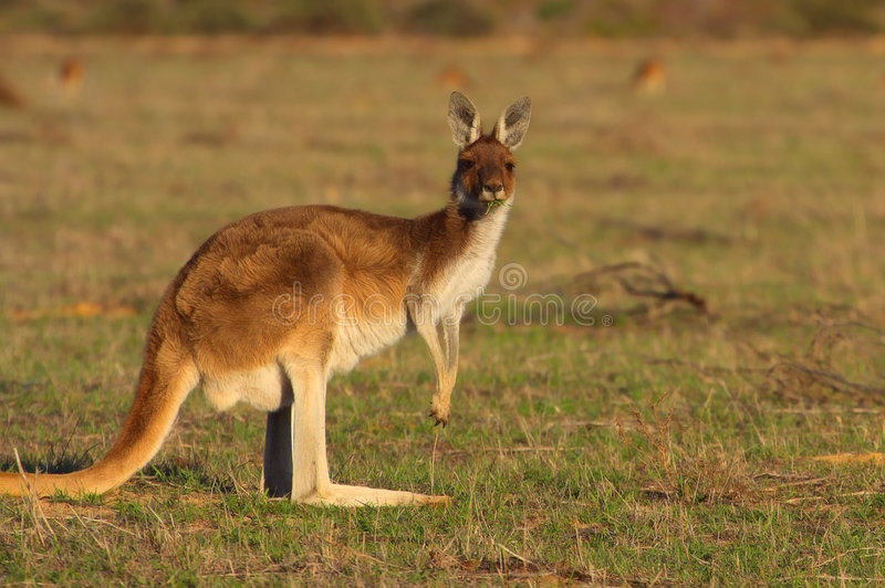 Kangaroo royalty free stock images