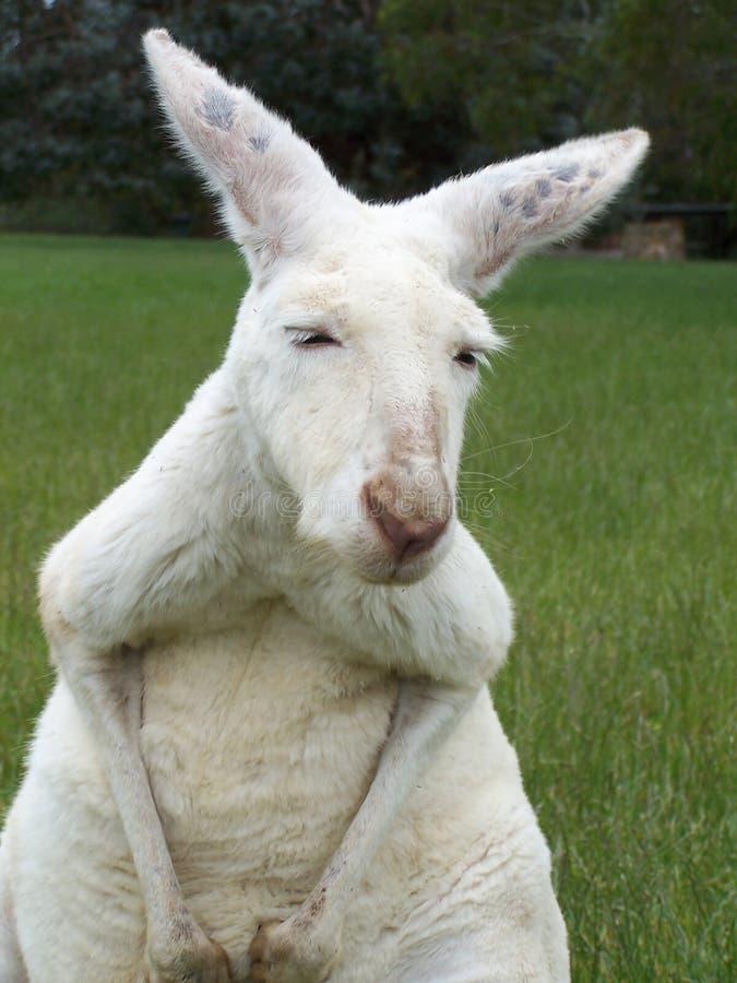 Free Kangaroo Royalty Free Stock Photo - 565155