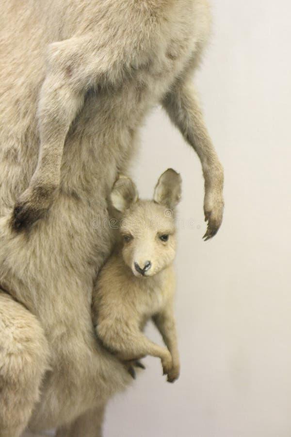 Free Kangaroo Stock Images - 6136194