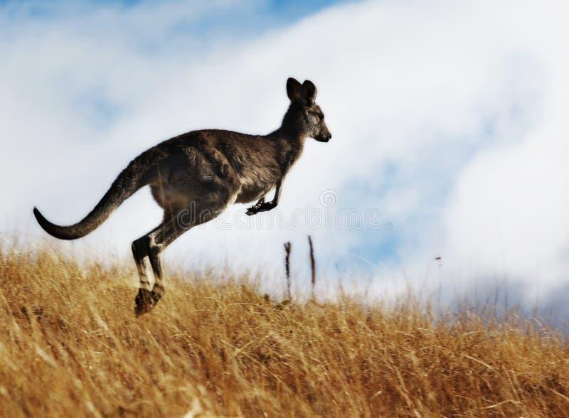 Kangaroo stock image