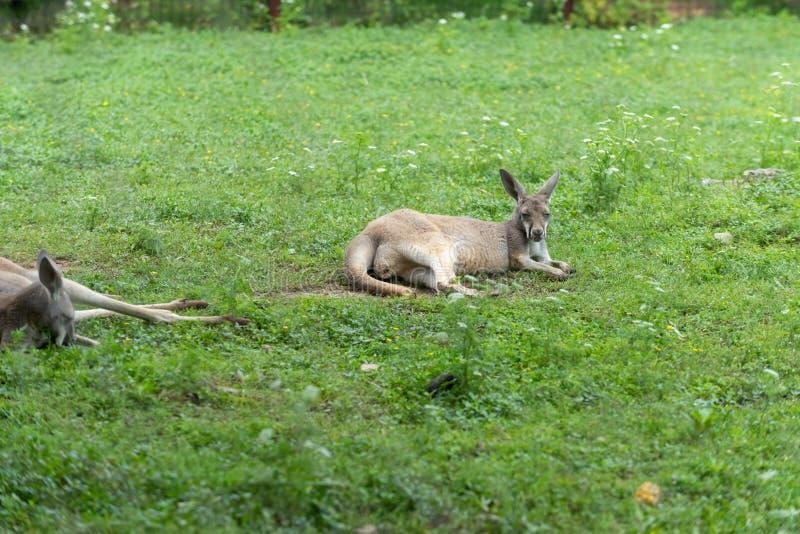 Guugu Yimidhirr-kangaroo stock photo