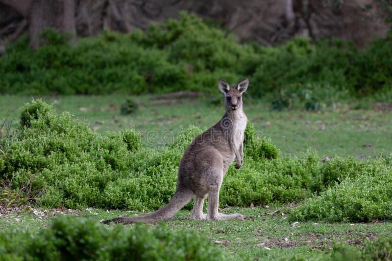 Kangaroo auf grünem Buschland lizenzfreie stockfotografie