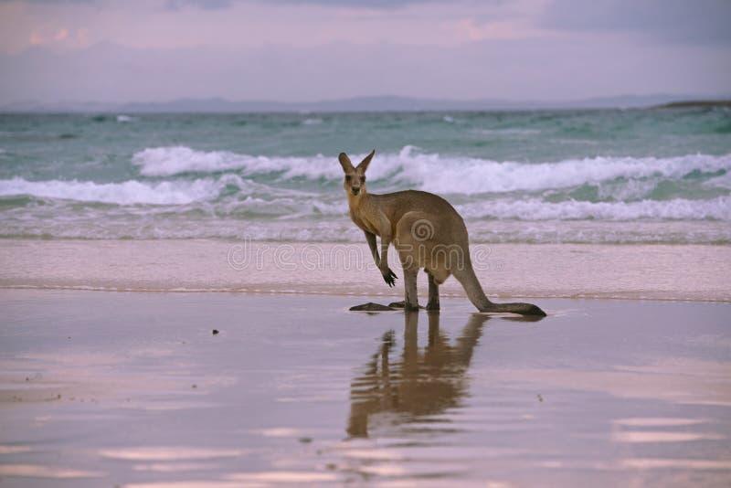 Kangaroo on the beach. A big kangaroo enjoying a beach sunset on the Australian coast, Stradbroke Island, Queensland stock images