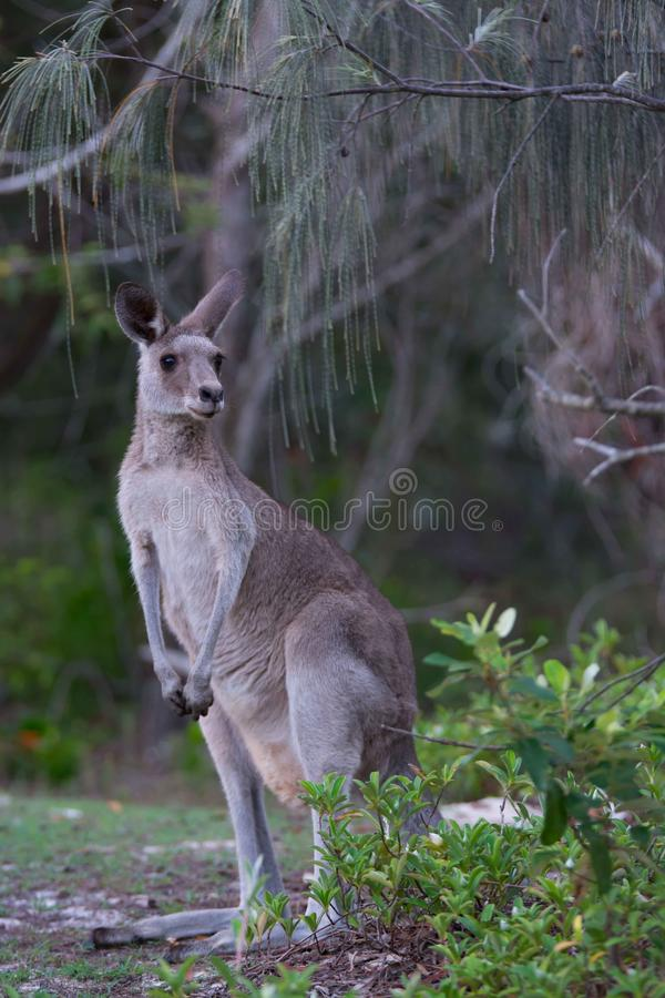 Kangaroo. Came to see what's going on royalty free stock image