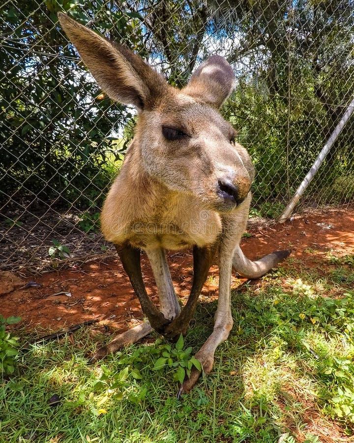 Kangaroo close shot royalty free stock image