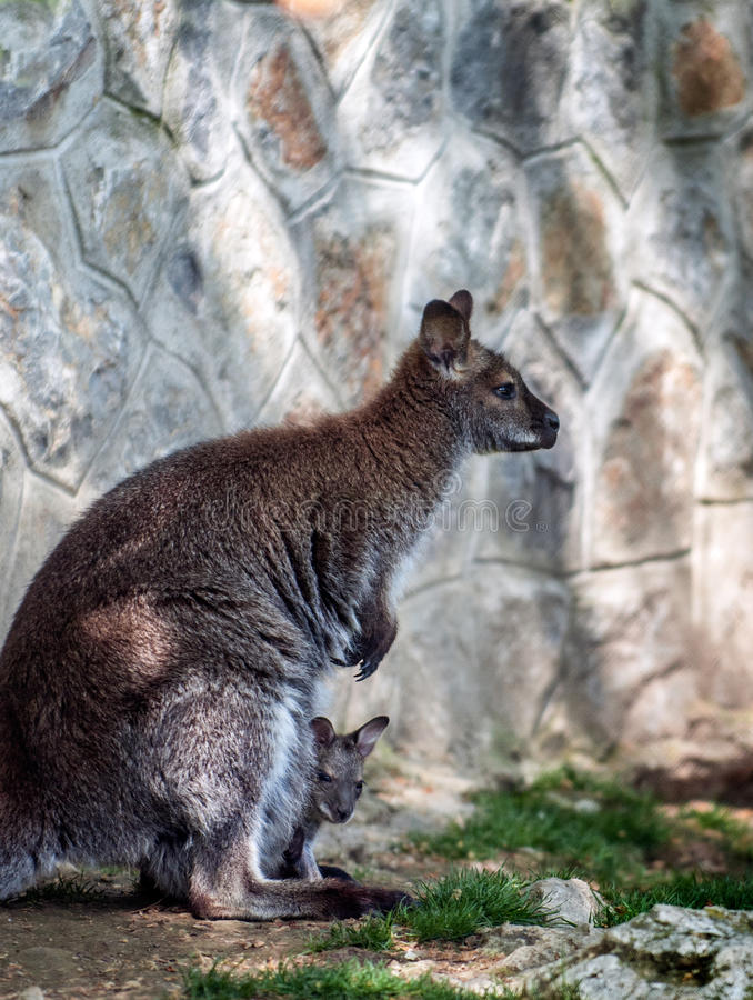 Kangaroo with a cub royalty free stock photos