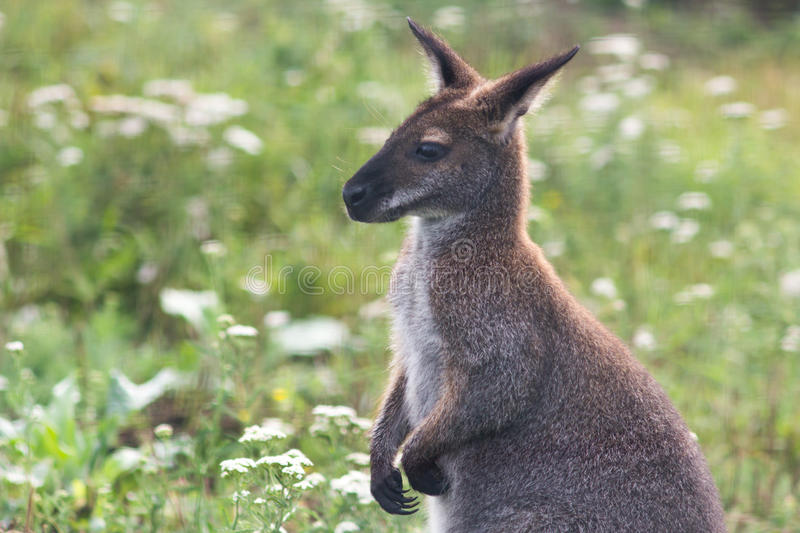 Kangaroo cub. In zoo on the meadow background royalty free stock photo