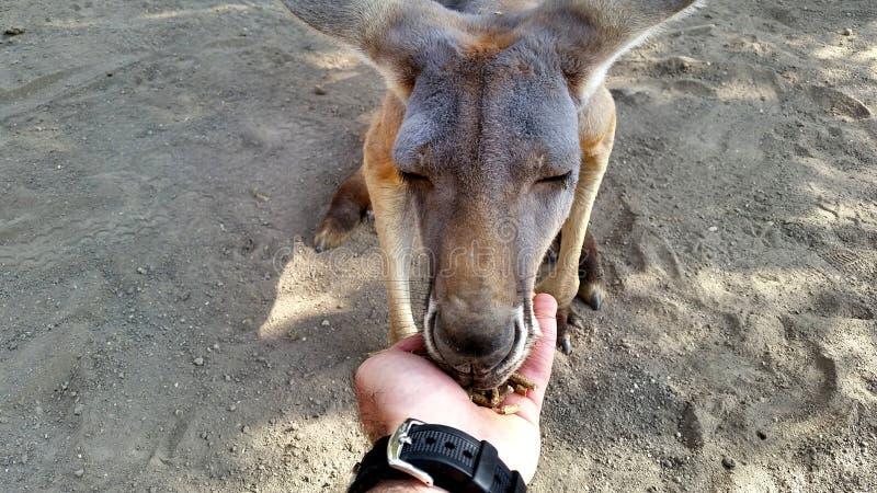 Kangaroo royalty free stock photography