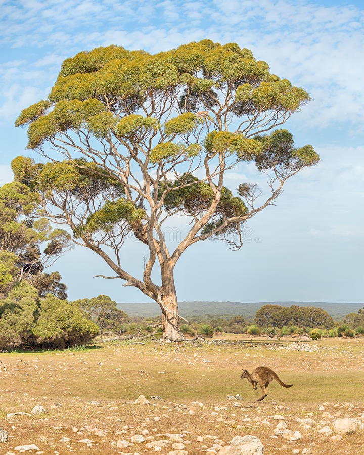 Kangaroo, Eucalyptus, Kelly Hill Conservation Park, Kangaroo Isl royalty free stock image
