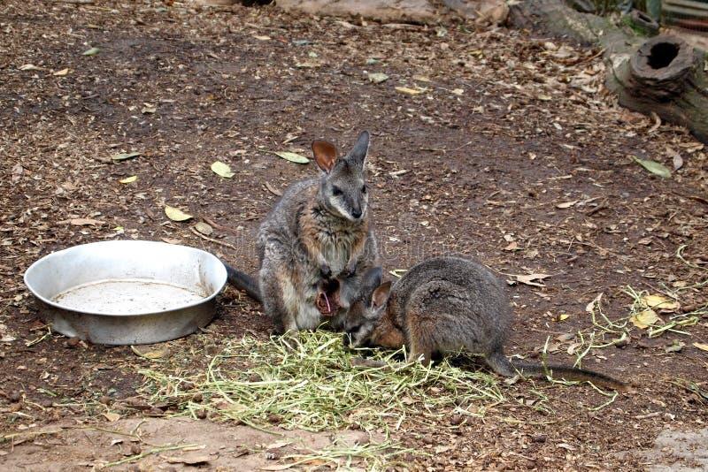Kangaroo feeding stock image