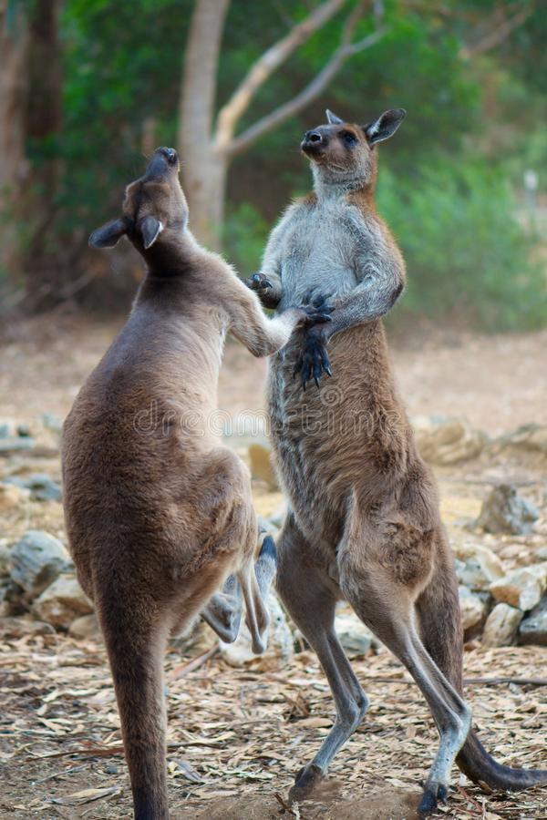 Kangaroo Fight. Two aggressive tall male kangaroos in the middle of a fight, kicking, boxing and punching royalty free stock photos