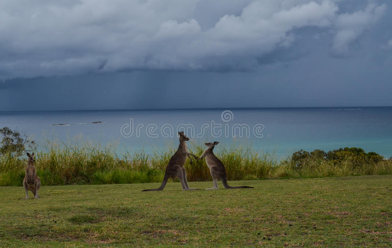 Kangaroo fight royalty free stock image