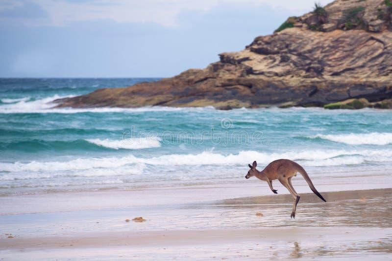 Kangaroo hopping on the beach. A beautifu kangaroo gracefully hopping on a beach of the Australian coast, North Stradbroke Island, Queensland royalty free stock photos