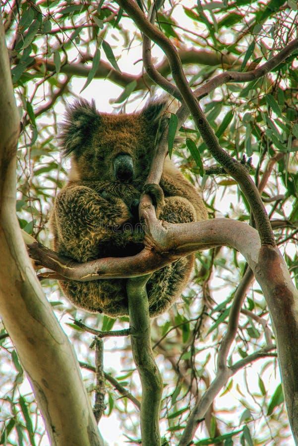 Koala from Kangaroo island in Australia stock photo